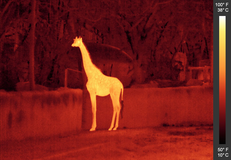 As each slider bar is manipulated, the view transitions from visible light to infrared light. In visible light: A giraffe peers over a wall. In infrared light: The giraffe gives off a nearly solid glow in infrared light due to its uniform temperature. Note the cool hair of the tail, which is darker because it gives off less heat, and the brighter eyes and inner ear.