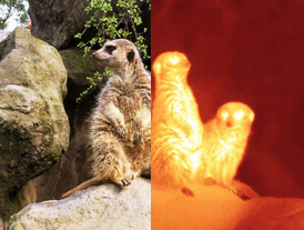 Meerkats in visible and infrared light
